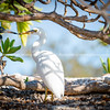 Eastern Reef Egrets sheltering from sun under tree branches