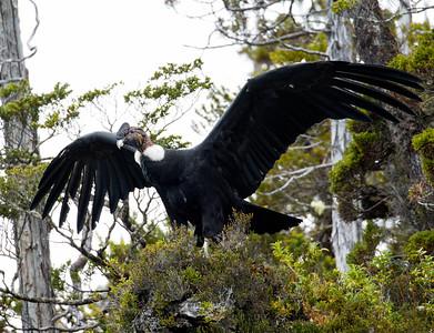 Andean Condor (Vultur gryphus) - Male