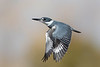 Belted Kingfisher-female in flight.