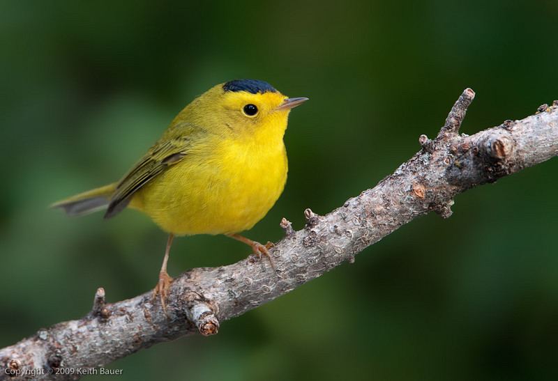 Male Wilsons Warbler