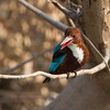 "White-throated kingfisher,,, Multan ""Pakistan""<br /> Canon EOS 1D MARK iv + Canon EOS 70-200 mm f/2.8L IS lens."