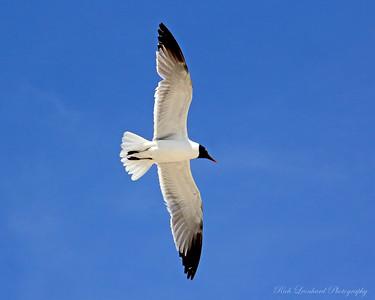 Common tern flying over Fire Isaland,NY.