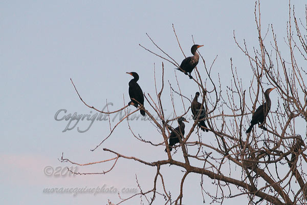 mep2181Cormorants-web copy copy