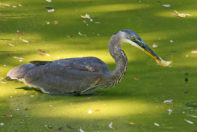 Great Blue Heron catches fish at Old Westbury Gardens