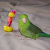 This is our Parrotlett Adam. He is about 5 inches long and adorable as heck.