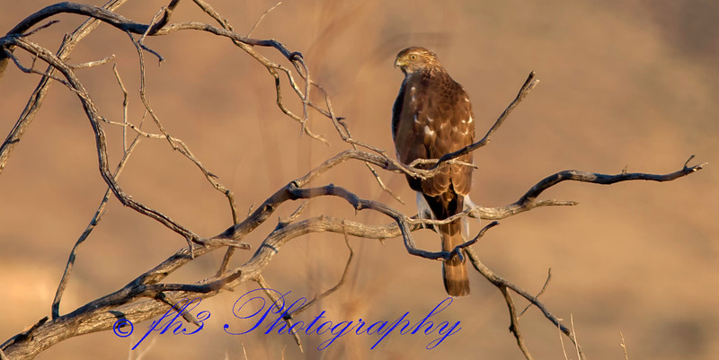 Hawk in Aguirre Springs NM