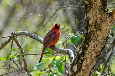 Northern Cardinal - Cardinalis cardinalis (male).