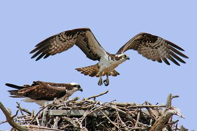 Osprey pair tending nest