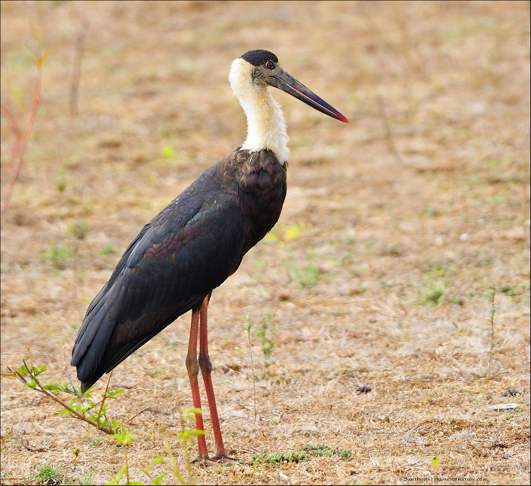 Wolly necked Stork