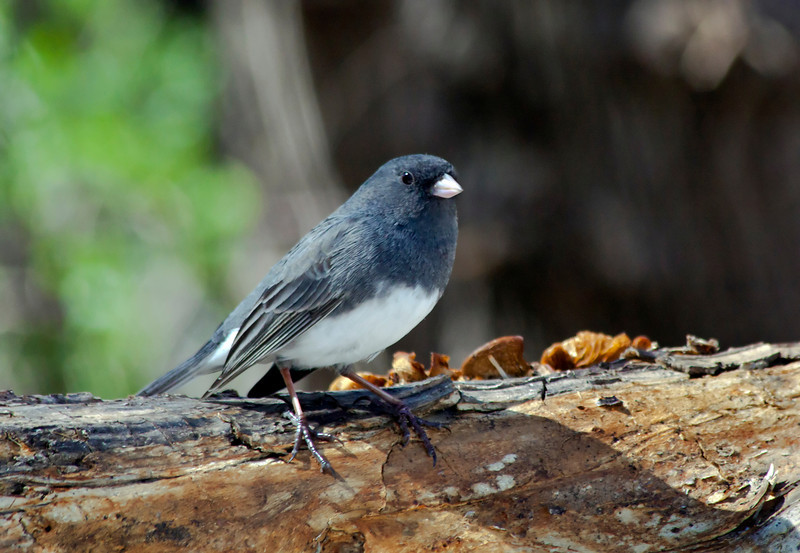 black-eyed junco_IMG_1285