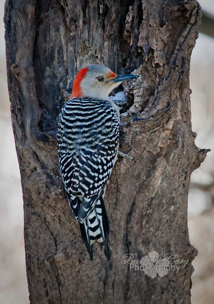 At last, I got a fairly-decent shot of this woodpecker. He has been flashing me for about a month.