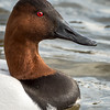 Canvasback Portrait