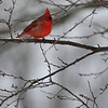 One of many cardinals finding there way to Deana's feeders this winter