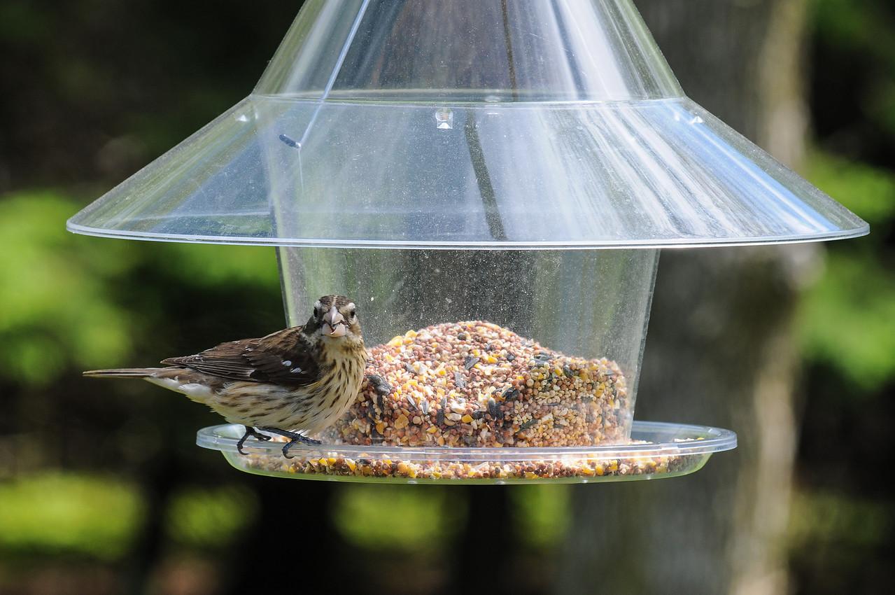 Brown Headed Cowbird in back deck feeder - May 2008