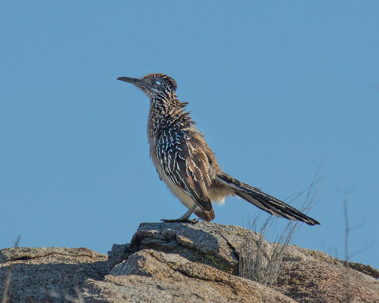 Road Runner in the morning sun