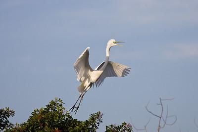 Great heron calling