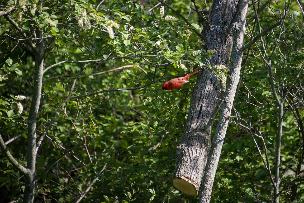 Male Cardinal in flight - May 2013