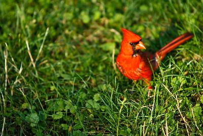 cardinal-14