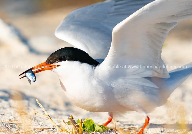 Roseate tern with fish in beak.