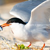 Roseate tern with fish in beak.