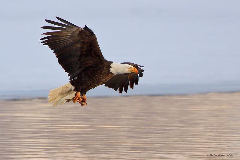 Bald Eagle - Bringing In Lunch