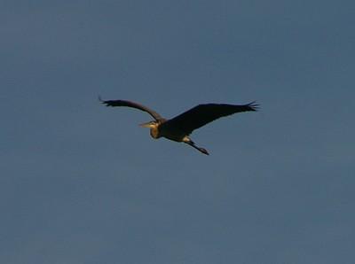Animals: Birds, Geese, Ravens, Heron, Turtles