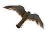 Australian/Nankeen Kestrel (Falco cenchroides)