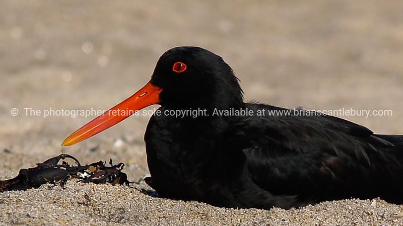 Black oystercatcher with bright orange beak sitting on sand.