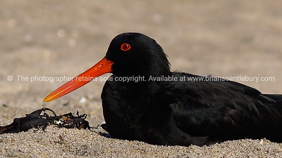 Black oystercatcher with bright orange beak sitting on sand.