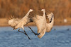 Sandhill Cranes fighting-Bosque Del Apache