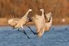 Sandhill Cranes fighting-Bosque Del Apache