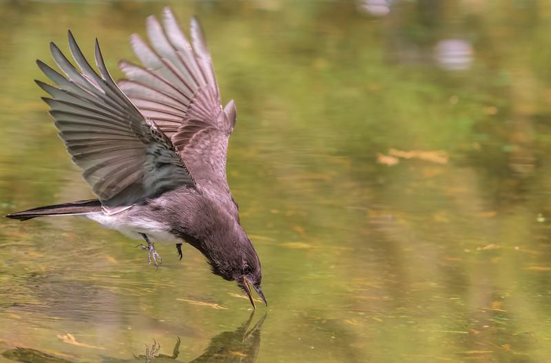 black phoebe hawking