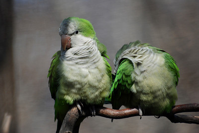 Monk parakeets can be found in a number of location in the NYC area.  Originally from South America, they the New York population is the product of animals escaped (released?) from the pet trade.
