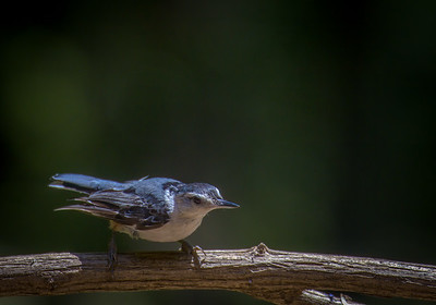 Nuthatch in Attack Position