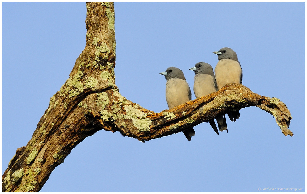 The three musketeers | Ashy wood swallows......