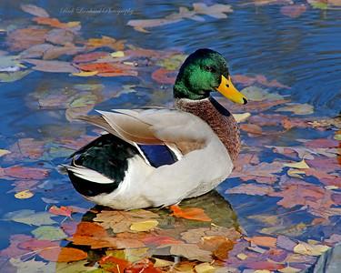 Mallard Duck in the Autumn.