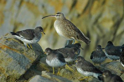 Whimbrel at Pescadero Beach