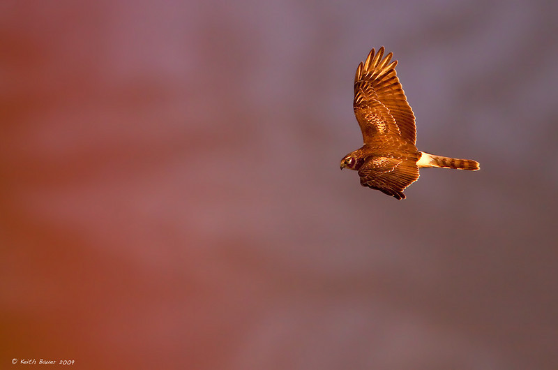 Northern Harrier - Flying into a rainbow