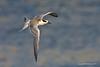 Fledgling Forster's Tern