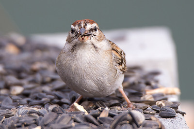 Chipping Sparrow - Chipping Sparrows are common across North America wherever trees are interspersed with grassy openings.