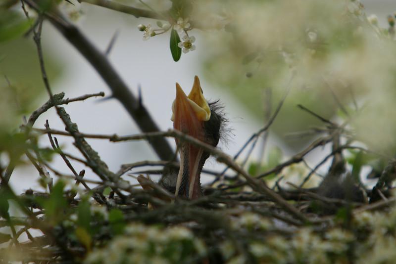 Baby Mocking Bird