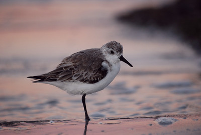 A sanderling pauses in its search for food along the shore at dawn.