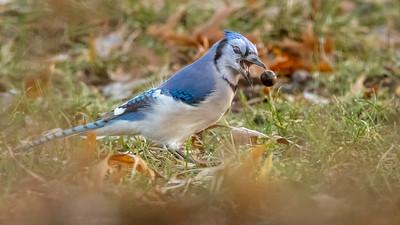 Bluejay w acorn in air -4710