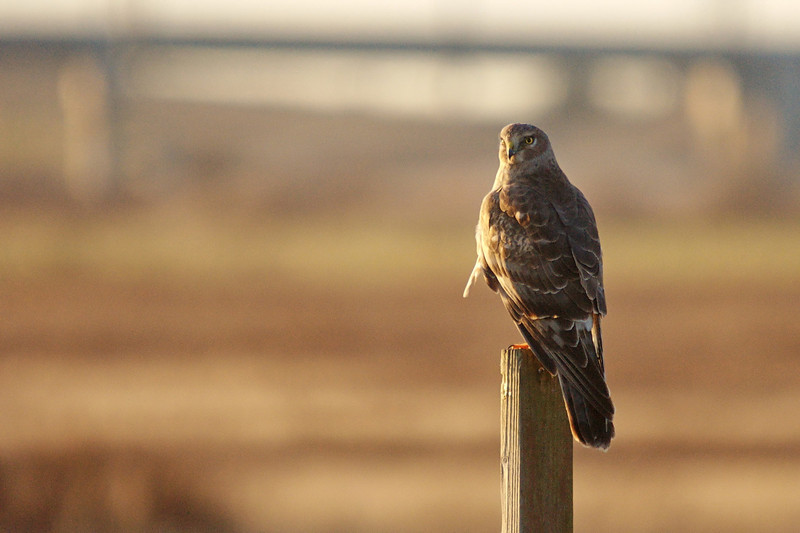 Northern Harrier, either a female or juvenile male.