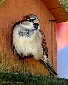 Sparrow in my back yard.