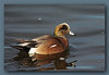 American Wigeon male at Richmond North Dyke. (w/ Sigma 50-500)