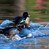 this wood duck kept chasing off the other male, that kept getting close to its mate