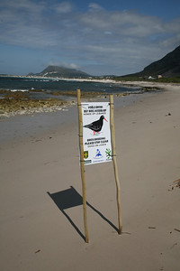 Black oystercatching breeding sign