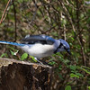 Blue Jay, Elizabeth Morton Wildlife Refuge.