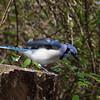 Blue Jay, Elizabeth Morton Wildlife Refuge.